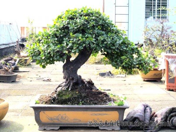 雀梅,是一种优良的盆景树种,自古就有七贤之一的美称而被很多人喜爱.